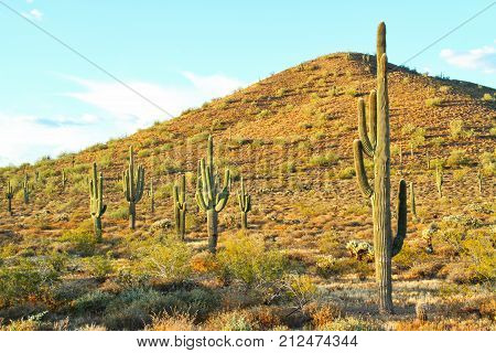 Several saguaro cactuses in the Sonoran desert with a mountain.