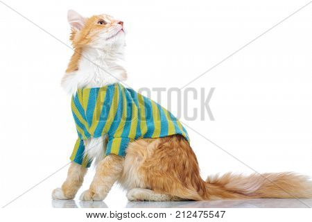 side view of a dressed cat looking up to something on white background