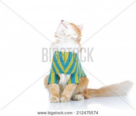 seated dressed cat looks up to something on white background