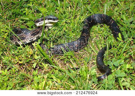 Rat Snake (Elaphe obsoleta) in a central Illinois prairie