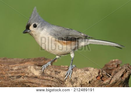 Tufted Titmouse (baeolophus bicolor) on a log with a green background