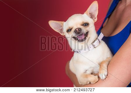 Devotion and constancy concept. Chihuahua dog smiling in female hands. Protection alertness bravery. Puppy face with happy smile on red background. Pet companion friend friendship copy space
