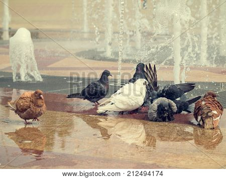 A flock of pigeons bathing in a city fountain. The concept of co-existence of humans and animals.