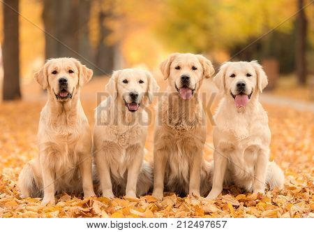Golden Retriever Dog In The Nature An Autumn Day