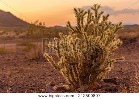 Beautiful cholla cactus in the desert at sunset