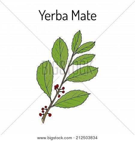 Yerba mate Ilex paraguariensis , medicinal plant. Hand drawn botanical vector illustration
