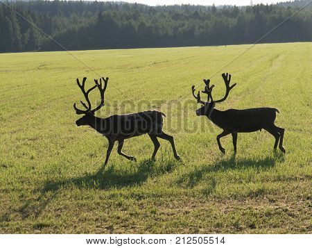 Reindeers on green swedish fjeld in the morning