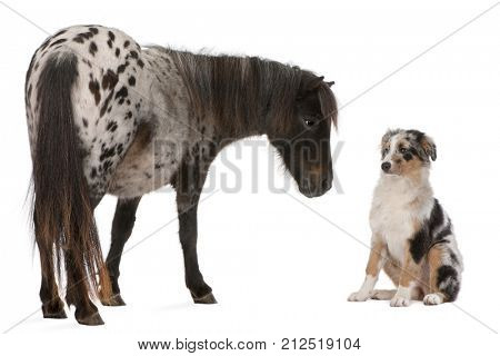 Appaloosa Miniature horse, Equus caballus, 2 years old,  and Australian Shepherd puppy, 4 months old, in front of white background