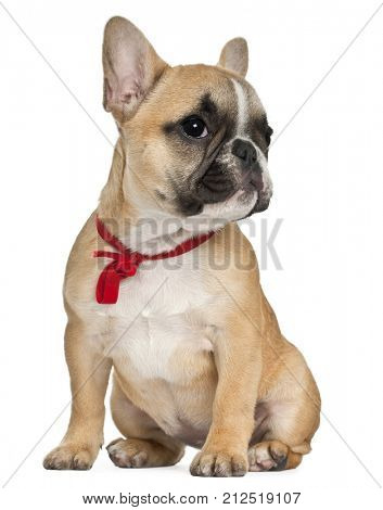 French Bulldog puppy wearing red bow, 3 and a half months old, sitting in front of white background