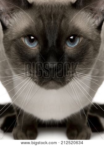 Close-up portrait of Siamese cat, 1 year old, in front of white background
