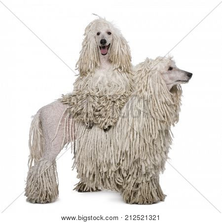 Two White Corded standard Poodles standing in front of white background