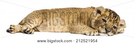 Lion cub lying down, looking exhausted, 4 weeks old, isolated on white