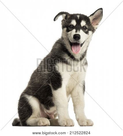Husky malamute dog puppy sitting, panting, isolated on white