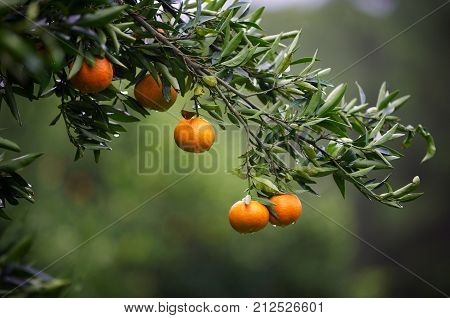 mandarin fruits on a tree. Orange tree. fresh orange on plant. close up, selective focus.