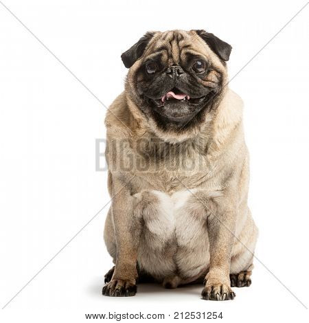 Sitting pug dog smiling with his tounge stuck out of his mouth. Domestic animals. Isolated on white