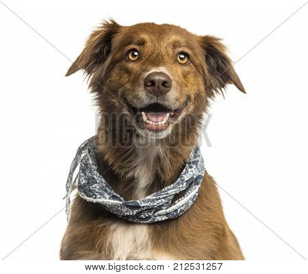 Close-up of a Labrador Australian Shepherd crossbreed dog, panting isolated on white