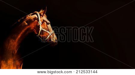 Bay horse portrait over a black background. Close-up beautiful horse head isolated on dark background. Chestnut horse isolated. Copy space for your text.
