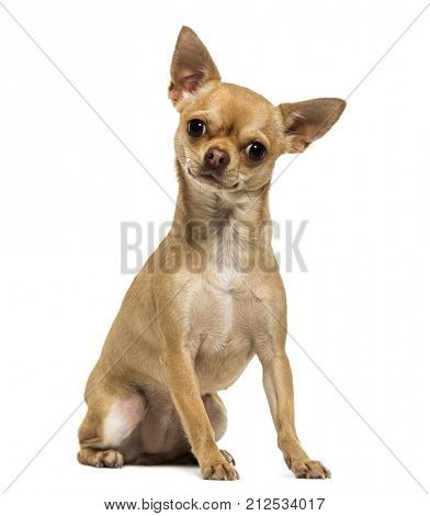 Chihuahua dog sitting, looking at the camera, 1,5 year old, isolated on white