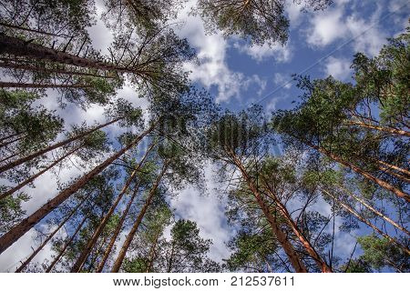 Horizontal shot of swaying tops of bare trees in the forest against blue sky