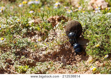 Dung Beetles Pushing A Ball Of Dung