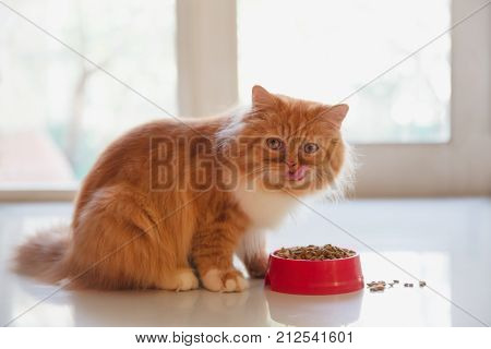 Persian cat eating dry cat food with nature light