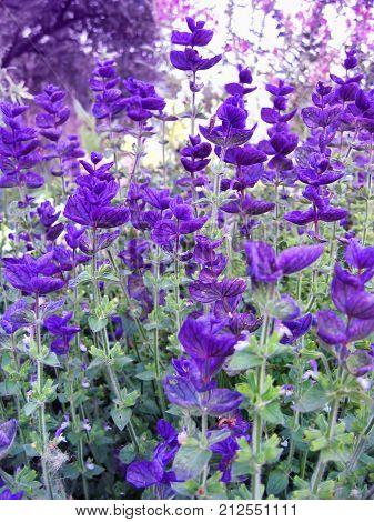 Beautiful Salvia close-up in the summer garden