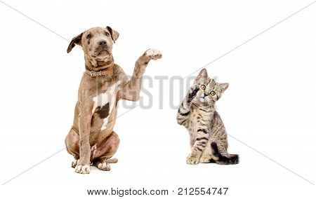 Playful puppy pit bull and  kitten Scottish Straight, isolated on a white background