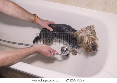 Washing a Yorkshire terrier dog in a bath with a shower head, spraying water, while being held by a persons hands