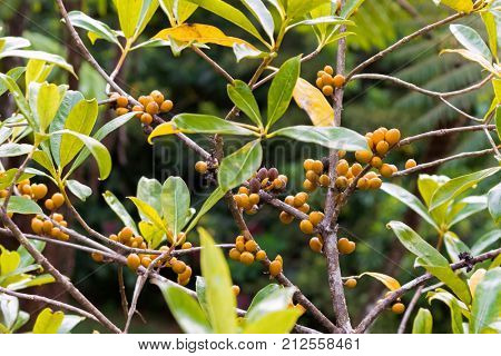 Closeup ripe orange berry fruit with seeds of resin cheesewood, also called petroleum nut at Mt. Kinabalu national park, Sabah Malaysia, Asia (Pittosporum resiniferum)