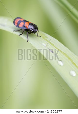 Red And Black Froghopper ( Cercopis Vulnerata )