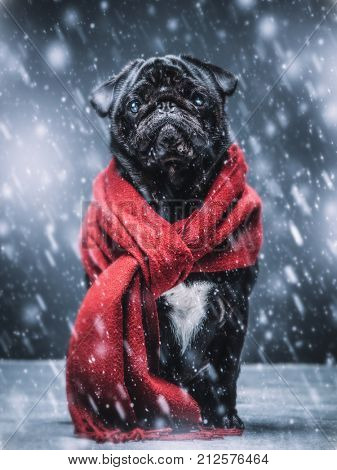 Cute sad pug puppy dog sitting on the ground, wearing red scarf, snowflakes falling around him.