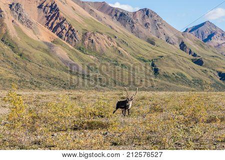 a barren ground caribou in velvet in Denali National Park Alaska