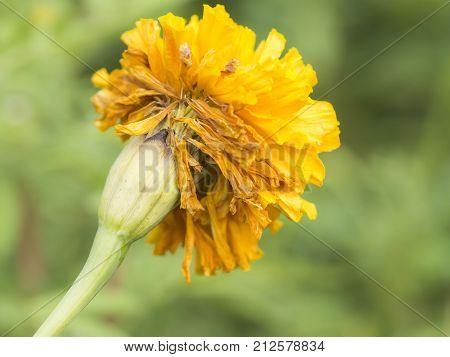 Marigold flower when it starts to wilt in the cot are seeds to expand