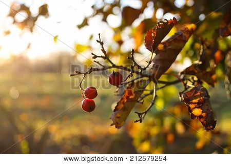 Ripe red berries of Crataegus laevigata plant. Midland hawthorn mayflower fruits in the autumn park. poster