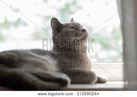 British cat lying on the windowsill blue British cat looking up poster