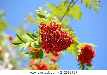 Rowan berries close-up against the sky in the Altai forest Belokurikha Altai Russia