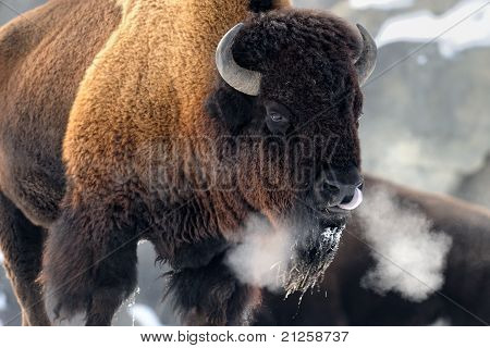 Bison Breath