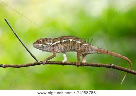 Beautiful Panther Chameleon, Madagascar