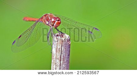 A dragonfly sits on a pole with something in its mouth. It looks like it is smiling and looking at you. Its wings are very detailed and sharply visible and so is its face