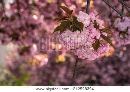 Beautiful Spring Background With Cherry Blossom