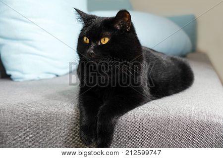 A beautiful black cat is lying. Graceful cat