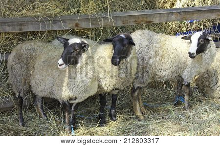 Hobbled sheep on a farm in the corral.Agriculture sector