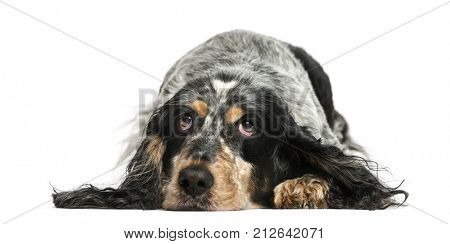 English Springer Spaniel resting (7 years old)