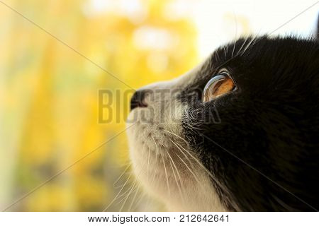 Cropped shot of a black cat.  cat looking to the side. Cat Close-up, yellow blurred background.