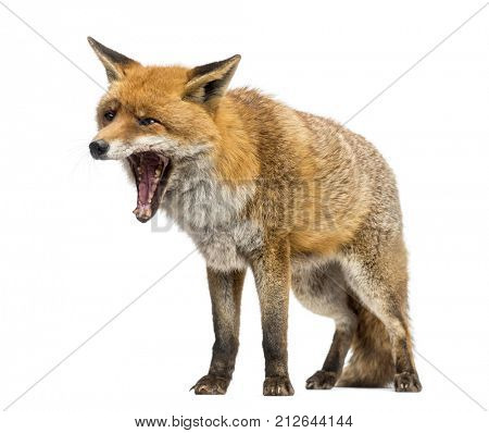 Red fox, Vulpes vulpes, standing, yawning, isolated on white