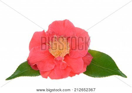 Camellia japonica isolated on white background. Known as common camellia or Japanese camellia is one of the best known species of the genus Camellia. Sometimes called the Rose of winter