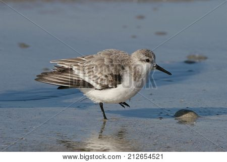 A Sanderling, Calidris alba in winter plumage on the beach in Florida in early autumn.