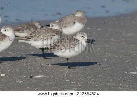 A group of Sanderlings, Calidris alba in winter plumage on the beach in Florida in early autumn.