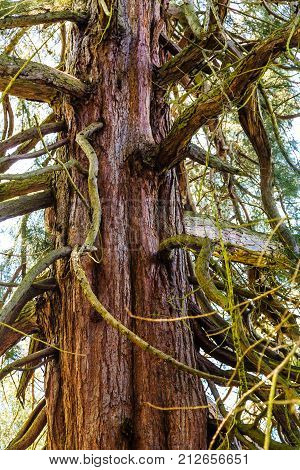Old Redwood Tree Trunk with Gnarled Limbs