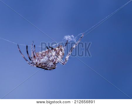 a spider hang on the web with blue background